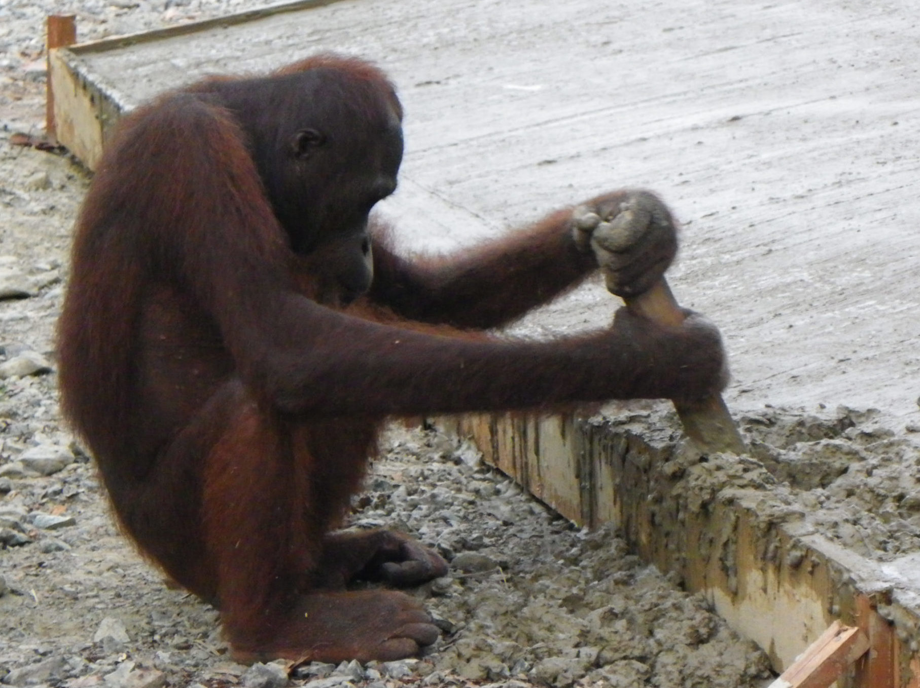 Orangutan playing in the concrete foundations of a building demonstrates the detrimental effect that building can have on the natural world
